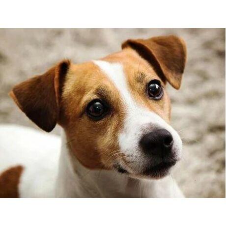 Gyémántkirakó készlet - Jack Russel kutyus